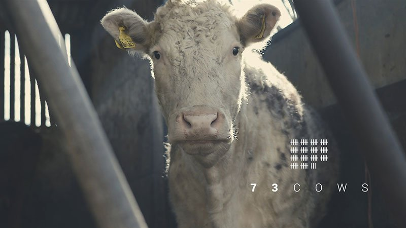 """Fotograma del cortometraje 73 Cows, a una vaca blanca mirando a cámara, con cara de majísima, en la esquina inferior derecha se ve sobreimpreso el logotipo del cortometraje, en el que se lee """"73 Cows"""" bajo una lista de lineas tachadas de cuatro en cuatro a modo de clásica cuenta."""