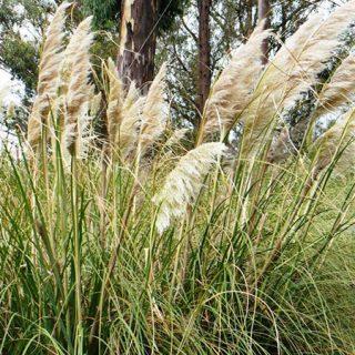 Foto de un arbusto de Plumero de la Pampa, una de Las especies invasoras que se muestran en este recorrido guiado.