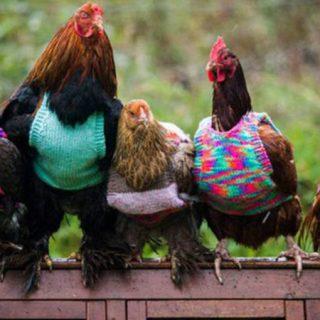 Foto de cinco gallinas que posan en fila luciendo unos preciosos jerseys tejidos de colores saturados.